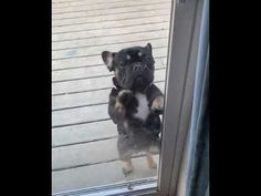 French Bulldog Dancing to Post Malone 6x4 Greenhouse, Baylage, French Bulldog Puppies, Simple Life Hacks, Post Malone, Kitty Kitty, Cute Dogs, Dates, Dancing