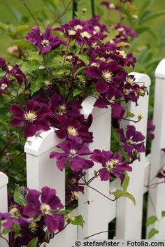 Clematis Gartenzaun, a beautiful deep purple to hug white pickets.