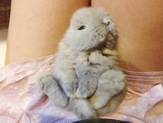 Igloo - my new pet bunny! Mini Lop Bunnies, Holland Lop Bunnies, Cute Baby Bunnies, Funny Bunnies, Cute Cats, Cute Kawaii Animals, Super Cute Animals, Adorable Animals, Matilda