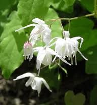 erythronium sibiricum gf epimedium erythronium dog 39 s tooth violet pinterest plants. Black Bedroom Furniture Sets. Home Design Ideas
