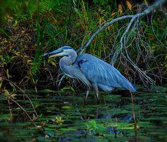Great Blue Heron.