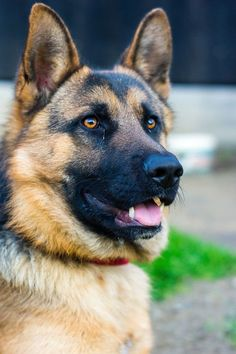 12 Reasons German Shepherds Are The BestLooking Dogs In The World