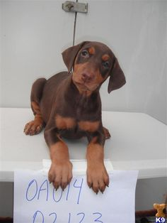Baby Doberman! This is exactly what Lilly looked like!