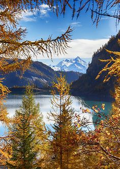 Autumn has coloured yellow the larch forests around Lake Sils, Graubünden / Grisons. Switzerland.