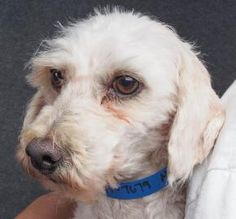 Biscuit is available for adoption at National Mill Dog Rescue.