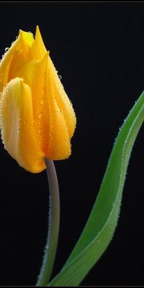 Yellow Tulip - Awesome Photo ! Beautiful Flowers - www.a-women.com Flowers Flowers Flowers