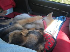 Our Alaskan Malamute and German Shepherd sleeping away the car ride to the cottage. Alaskan Malamute, German, Cottage, Puppies, Car, Dogs, Animals, Deutsch, Automobile