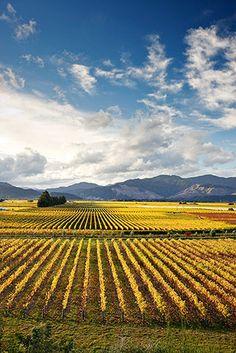 autumn in the vineyard - Renwick, Marlborough, New Zealand