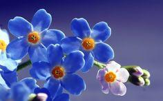 солнце, свет, полевые, синие, незабудки, Цветы, макро