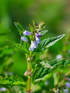Skullcap :: A restorative relaxing nervine | by Methow Valley Herbs | A remedy for anxiety, panic attacks, insomnia + muscle spasms.