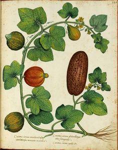 Botanical - Squash vine - Italian (2)