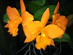 Orchids - Longwood Gardens