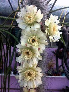 Espostoa blossfeldiorum