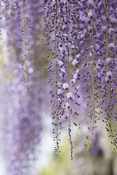 ~~wisteria by * Yumi *~~