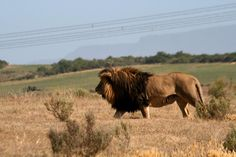 Lion, Garden Route Game Lodge, South Africa