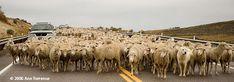 Lamb Days Ephraim UT #findyourpark #findyourstory Mormon Pioneer National Heritage Area
