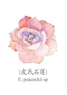 水彩手绘多肉植物 皮氏石莲