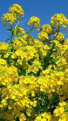 Rape blossom 菜の花