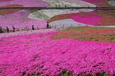 Carpets of PINK FLOWERS in Japan – 14 PHOTOS