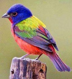 Tropical Birds, Exotic Birds, Colorful Birds, Exotic Pets, Bunting Bird, Painted Bunting, Beautiful Creatures, Animals Beautiful, Cute Animals