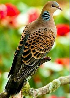 Turtle Dove  Nice Beautiful Birds bdbf467b6c502