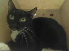 ID#A445787  I am described as a black and white Domestic Shorthair mix.  The shelter thinks I am about 1 year.  I have been at the shelter since Feb 10, 2015 and I may be available for adoption on Feb 17, 2015 at 7:30AM. If you are interested in me, please visit me before this date.  If you think I am your missing pet, please call or visit right away.