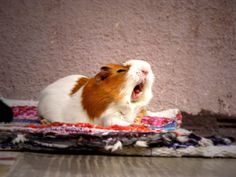 Piggy yawning! So tired!