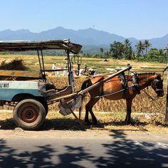 This is such a typical scene here in Lombok - lovely :) #upsticksandgo #transport #travel #travelgram #travelphotos #travellingtheworld #horsecart #horse #traditionalways #lombok #indonesia #farming