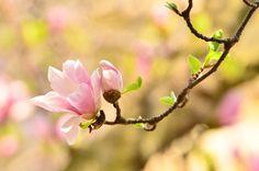 Beautiful magnolia.