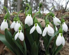 Snowdrops are the perfect flower to perk up a cold winter day.