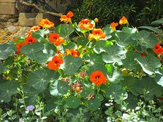 Maale Adumim, Israel - Gardens, Mitspeh Nevo neighborhood (מצפה נבו), nasturtium (כובע הנזיר)