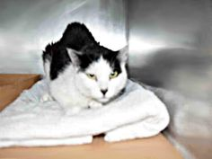 LUCY – A1085811. **AGAIN! Another cat healthy upon initial exam, catches the shelter cold then killed by NYCACC!