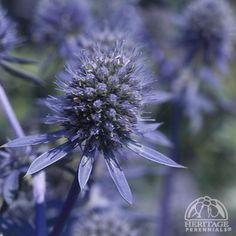 "Eryngium/Sea Holly ""Blue Glitter"""