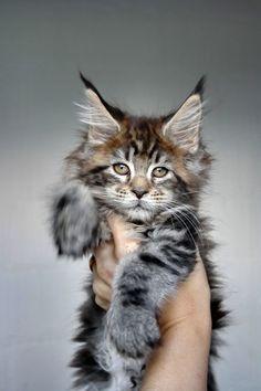 Maine Coon of Superbia - Suberbias C-Kitten - Superbias Cadisha