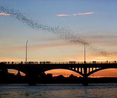 Austin's massive colony of Mexican Freetail bats take flight over the Congress Ave. Bridge.  Photo Credit: Ogbling.com