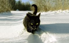 Black cat walking through the snow