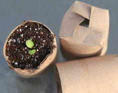 rouleau papier toilette pour semer des graines