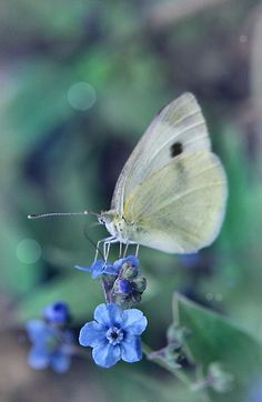 cabbage butterfly on Forget-me-not