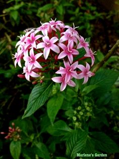 Pentas is one of the best butterfly-attracting plants around. It blooms all year in South Florida with large clusters of starry blooms that attract butterflies and hummingbirds.