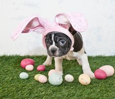 French Bulldog pretending to be the Easter Bunny Poster Poster. Cute Dog Pictures, Dog Photos, Drachenfels Design, Dogs Day Out, Dog Calendar, Calendar Ideas, Puzzle, Design Blog, Schmuck Design