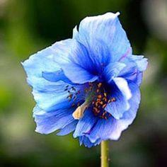 200 Rare Himalayan Blue Poppy Giganteum Papaver Somniferum Flower Seeds Home Garden Heirloom Organic Plants