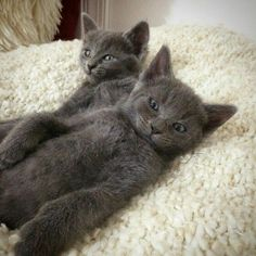 Russian Blue Cats Kittens ** Cat regrets visit to a tattoo parlor after a night of nonstop catnip. Cute Cats And Kittens, I Love Cats, Kittens Cutest, Kitty Cats, Blue Cats, Grey Cats, Cat Ideas, Russian Blue Kitten, Chat Maine Coon