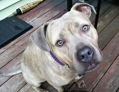 Meet Sky, an adoptable Pit Bull Terrier looking for a forever home. If you're looking for a new pet to adopt or want information on how to get involved with adoptable pets, Petfinder.com is a great resource.