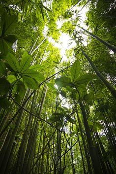 Bamboo Trees: Tantalus Drive, Honolulu, Hawaii by banzainetsurfer, via Flickr