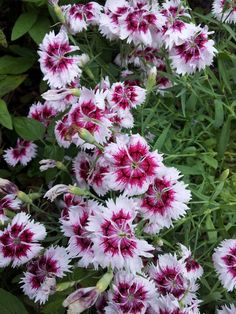 June 20, 2013 China pink, dianthus chinensis