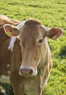 A Guernsey cow...my favorite