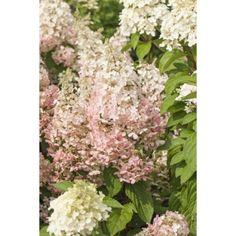 Riktblomstrende sort med limefargete blomster, senere rosafarget, på sterke…