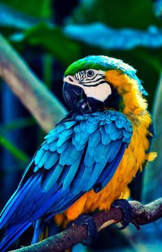 Blue and Gold Macaw Nature Animals, Animals And Pets, Baby Animals, Cute Animals, Tropical Birds, Exotic Birds, Colorful Birds, Pretty Birds, Beautiful Birds