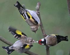 Goldfinch Feeding Its Young.