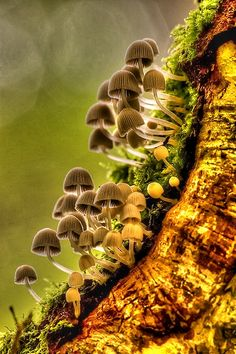 Mycena Fungi -this is how they grow opposite the gravity.even cant get the perspective of the photograph.lol